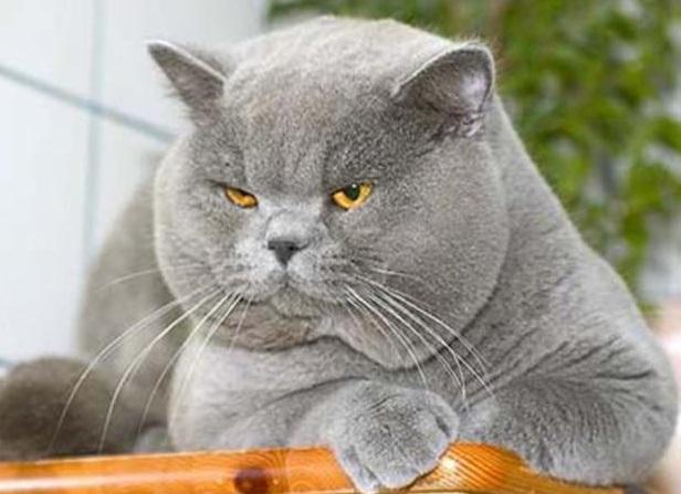Британский жирный кот